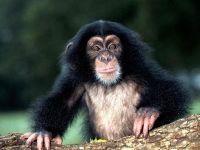Шимпанзе (Pan troglodytes) фото
