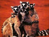 Кошачьи лемуры (Lemur catta) фото
