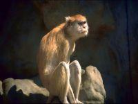 Мартышка-гусар (Erythrocebus patas)