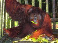 Суматранский орангутан (Pongo abelii)