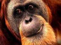 Борнейский орангутан (Pongo pygmaeus) самец