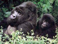 Горные гориллы,