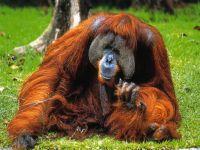 Суматранский орангутанг (Pongo abelii)