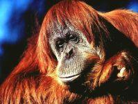 Борнейский орангутанг (Pongo pygmaeus)