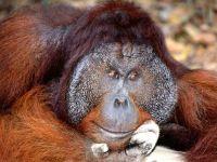 Суматранский орангутан,