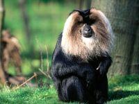 Вандеру (Macaca silenus),