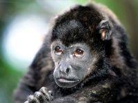 Черный ревун (Alouatta caraya) детеныш