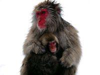 Японская макака с детенышем,