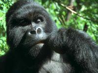 Самец восточной гориллы (Gorilla beringei)