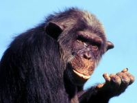 Карликовый шимпанзе, или бонобо (Pan paniscus)