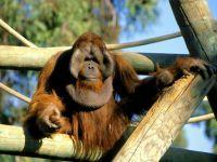 Самец калимантанского орангутана (Pongo pygmaeus)
