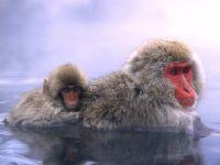 Японские макаки греются в воде