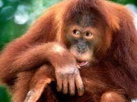 Самка орангутана