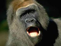 Самец западной гориллы (Gorilla gorilla)