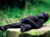 Детеныш гориллы обои
