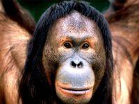 Борнейский орангутан (самка)
