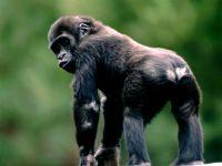 Детеныш западной гориллы