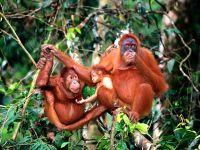 Борнейские орангутаны фото