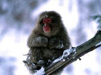 Японский макак (Macaca fuscata) фото