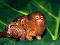 Карликовая игрунка (Cebuella pygmaea)