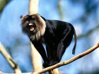 Львинохвостый макак (Macaca silenus)