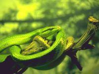 Зелёный полоз, или смарагдовый полоз (Gonyosoma oxycephalum)