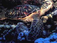 Зелёная черепаха, суповая черепаха (Chelonia mydas)