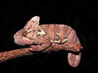 Йеменский хамелеон (Chamaeleo calyptratus)