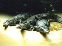 Американский аллигатор, миссисипский аллигатор (Alligator mississippiensis) картинк