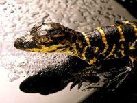 Детеныш аллигатора (Alligator mississippiensis)