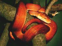 Садовый удав (Corallus hortulanus)