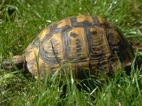 Средиземноморская черепаха (Testudo graeca)