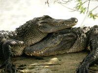 Нильские крокодилы (Crocodylus niloticus)