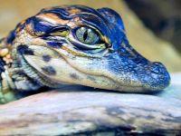 Детеныш черного каймана (Melanosuchus niger)