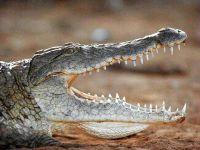 Центральноамериканский крокодил (Crocodylus moreletii)