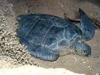Галапагосская зеленая черепаха (Chelonia agassizii)