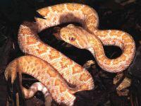 Техасский гремучник (Crotalus atrox) альбинос