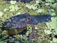 Миссисипский аллигатор (Alligator mississippiensis),