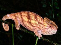 Шлемоносный хамелеон (Chamaeleo calyptratus)