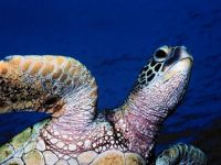 Зеленая черепаха (Chelonia mydas)