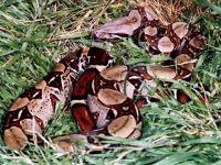 Обыкновенный удав (Boa constrictor)