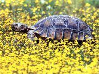 Чилийская черепаха (Chelonoidis chilensis)