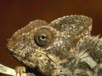 Шлемоносный, или йеменский хамелеон (Chamaeleo hoehnelii)