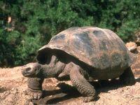 Слоновая, или галапагосская черепаха (Chelonoidis elephantopus) фото