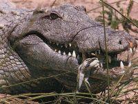 Миссисипский аллигатор (Alligator mississippiensis)