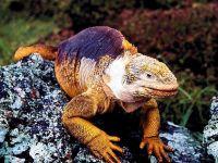 Игуана конолоф (Conolophus subcristatus)