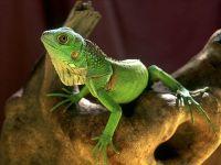 Зеленая игуана (Iguana iguana)