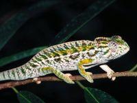 Ковровый хамелеон (Furcifer lateralis)