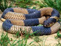Голубой крайт (Bungarus candidus),