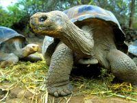 Слоновая черепаха (Chelonoidis elephantopus)